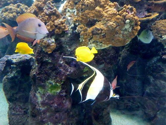 Wailuku, Hawái: many fish you can see when snorkeling around the island yellow tang, Moorish Idol