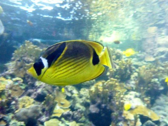 Wailuku, Hawái: butterfly fish