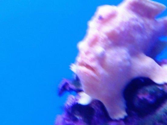 Wailuku, Hawái: Frogfish