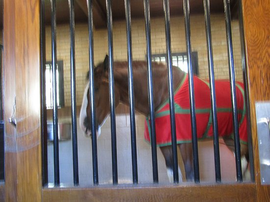 Anheuser-Busch Brewery Tours: Beautiful Clydesdale