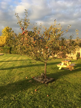 Wettenhall, UK: Apple tree with delicious apples