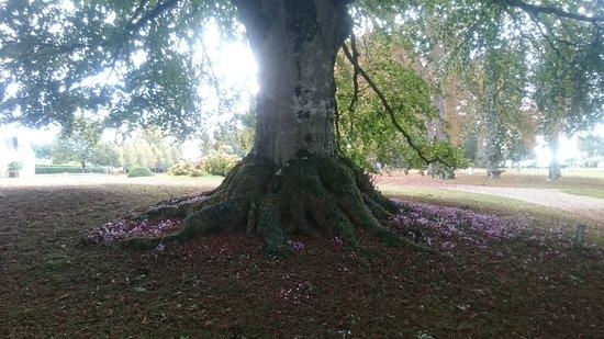 Curzay-sur-Vonne, Fransa: Hêtre centenaire dans le parc du château