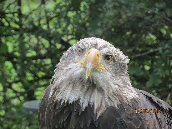 Machynlleth, UK: Juvenile Bald Eagle