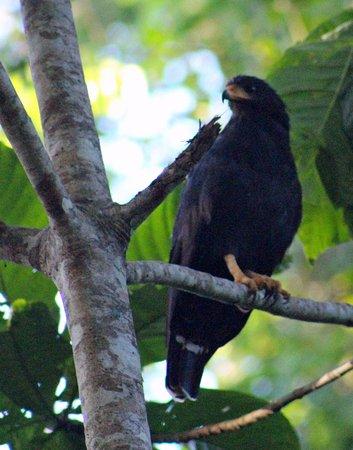 Manzanillo, Costa Rica: Common Black Hawk near my tent.