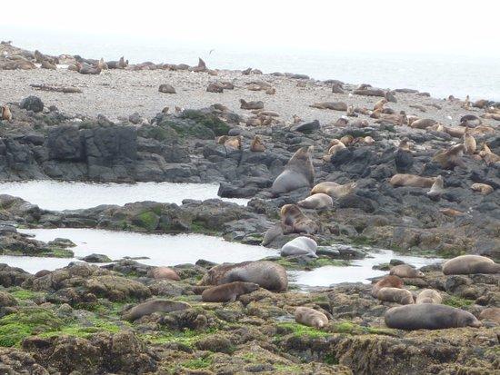 Cowes, Australien: Australia Fur Seals, Seal Rock, Phiollip Island
