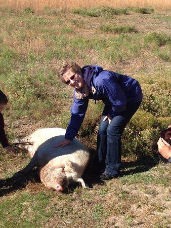 Harwich, MA : Michael the pig!