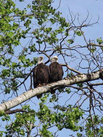 Lone Butte, Canada: eagle pair hanging out in the aspens in front of the main office