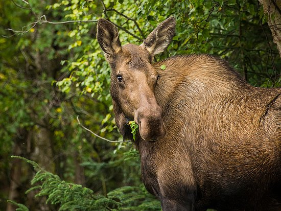 Spot moose right in Anchorage on city trails or neighborhoods.