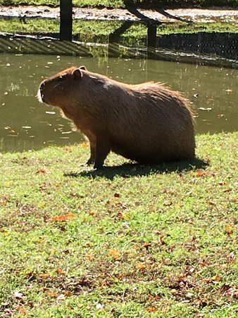 Cape May Court House, NJ: Capybara