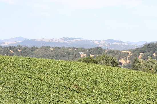 Williams Selyem Winery : The vines