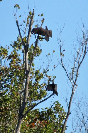 Marion, IL: Hawks sunning in a tree.