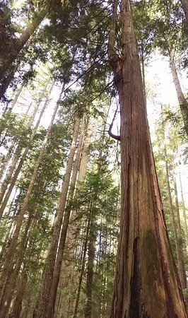 Sechelt, แคนาดา: Majestic old growth forest of the Sunshine Coast