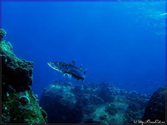 بوفت, تايلاند: Big barracuda  on dive site Chumpon Pinacle.