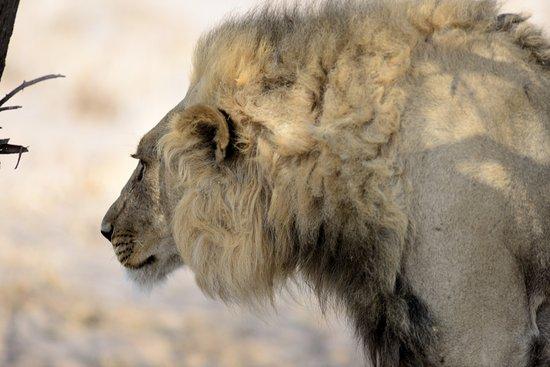 Kasane, Botsuana: lion, Central Kalahari like Savuti, Moremi and Chobe