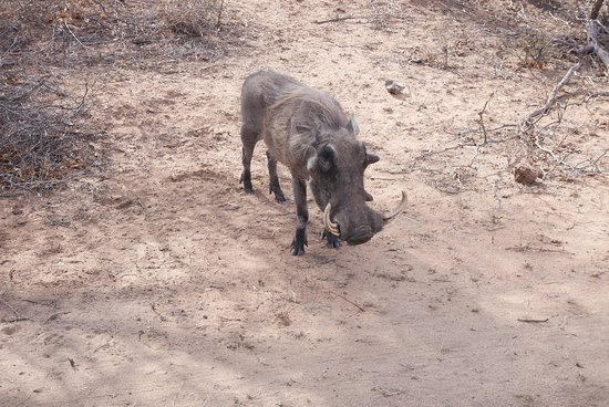 George, Sudáfrica: Warthog sniffing around the side of the track