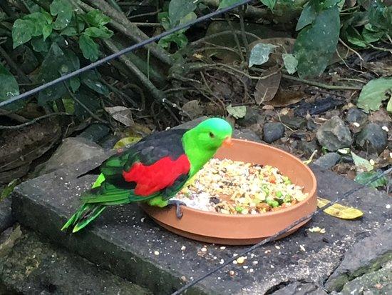 Kuranda, Australia: Amazing colours on these birds