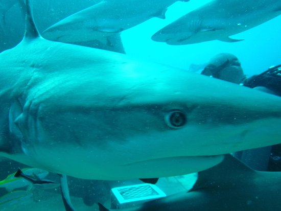 Île de New Providence : coming at ya on shark dive