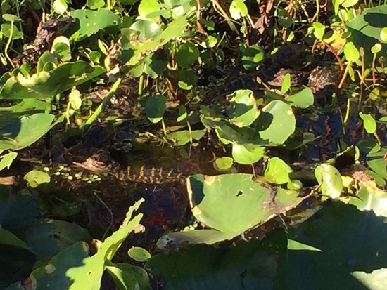 Saint Cloud, FL: Baby alligators next to our air boat during a brief stop