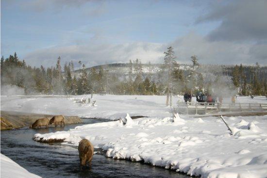 Gardiner, MT: Elk in Winter