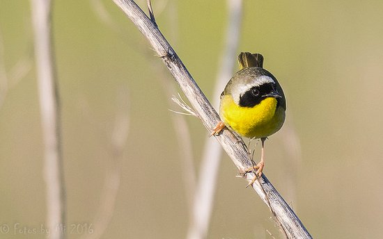 Gray Summit, MO: Common Yellowthroat (Shaw Nature Reserve)
