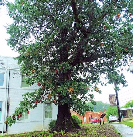 Wilkesboro, NC: tree started from the tory oak graft