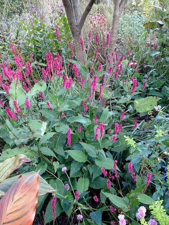 Wayne, PA: Persicaria October 2016