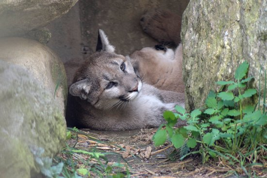 Gray, ME: Chilled out cougar