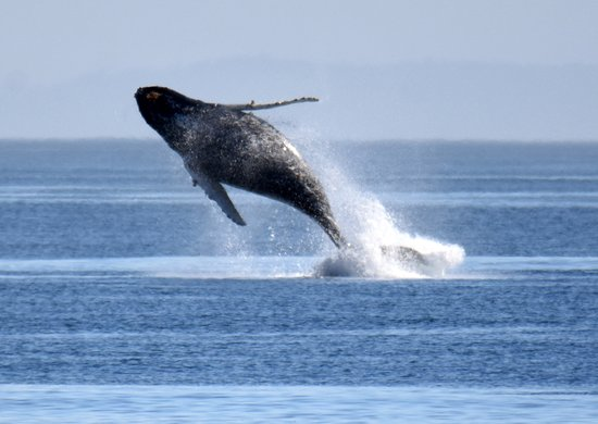 Port McNeill, Canadá: Whale Breaching