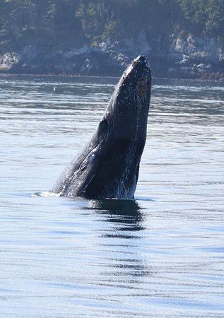 Port McNeill, Canadá: Humpback Whale