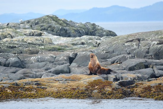 Port McNeill, Kanada: Sea Lion