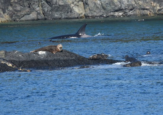 Port McNeill, Canadá: Labour seals and hunting orca