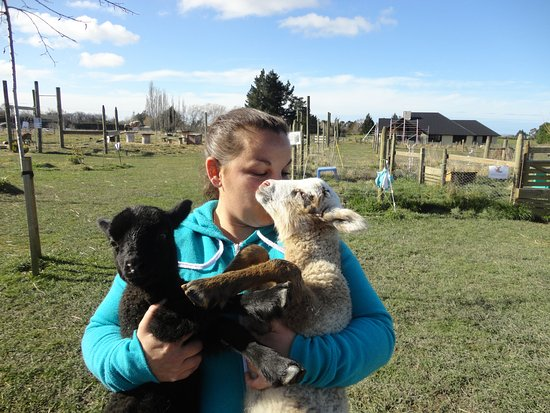 Timaru, Nouvelle-Zélande : Jo taking the lambs for a walk!!!!