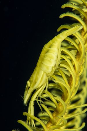 Siladen Resort & Spa: Underwater Crinoid Shrimp