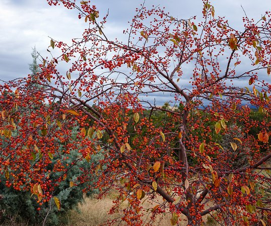 Do All Crabapple Trees Have Fruit