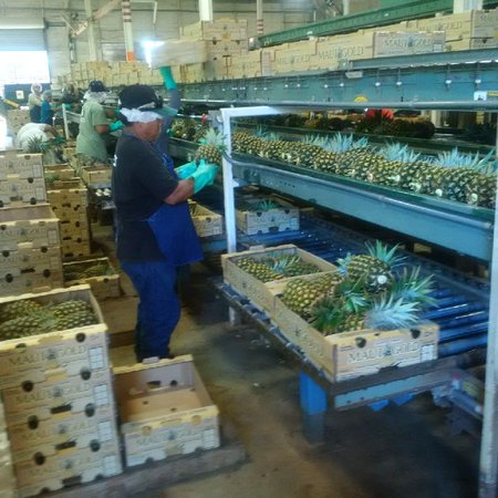 Makawao, HI: Grading and boxing in the plant