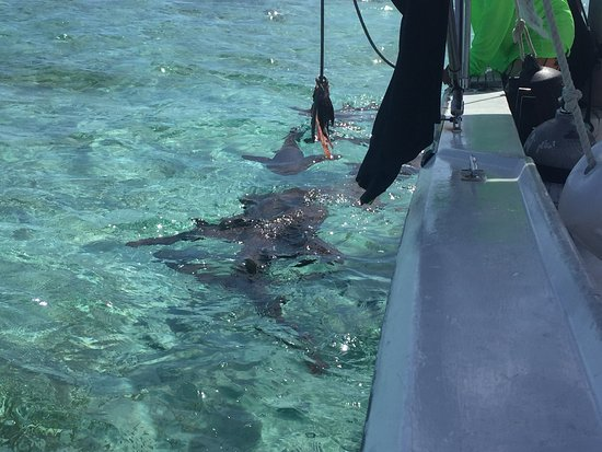 Caye Caulker, Belize: Feeding the nurse sharks and doing ceviche with very delicious lionfish!