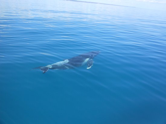 Whalesong Cruises: whale calf approaching the vessel