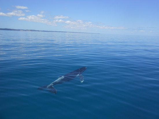 Hervey Bay, Australia: whale calf moving away from the vessel