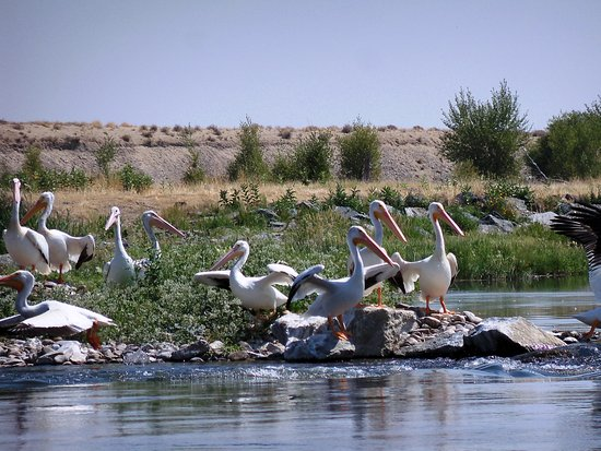 Green River, WY: Passing Pelicans