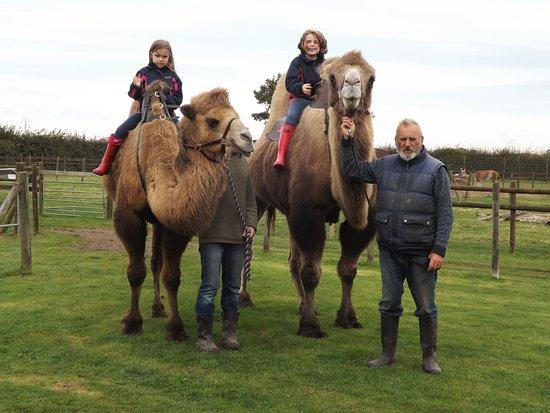 Halesworth, UK: Camel Riding