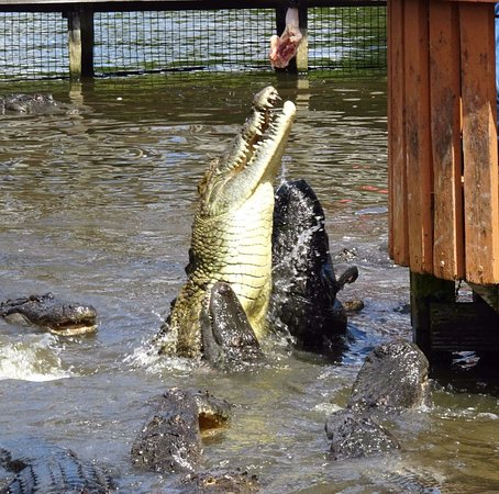 Gatorland : Gator jumping