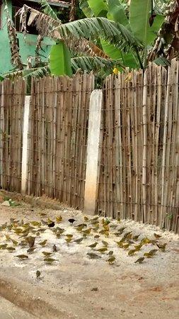 Lamim, MG: Canarinhos da Terra alimentados na calçada