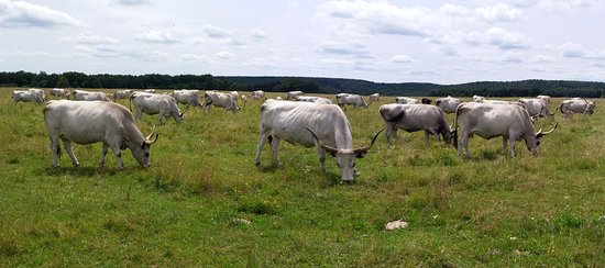 Pityerszer: Hungarian Grey Cattle in Őrség region