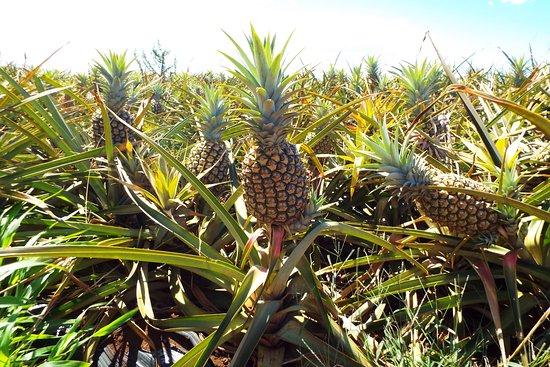 Makawao, HI: Nearly ripe