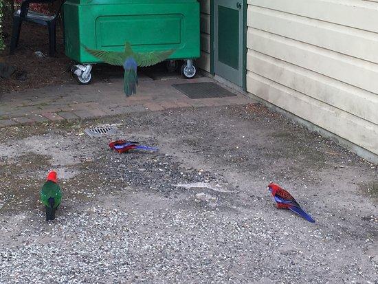 Blackheath, Avustralya: parrot at the reception
