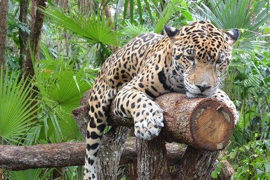 The Belize Zoo: Jaguar