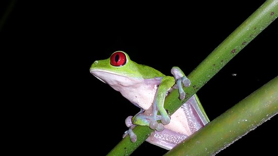 El Remanso Lodge: Red-eyed tree frog