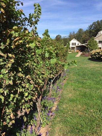 North Garden, VA: Grape vines