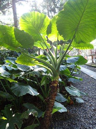 最御崎寺, 大きなクワズイモが植えられていました