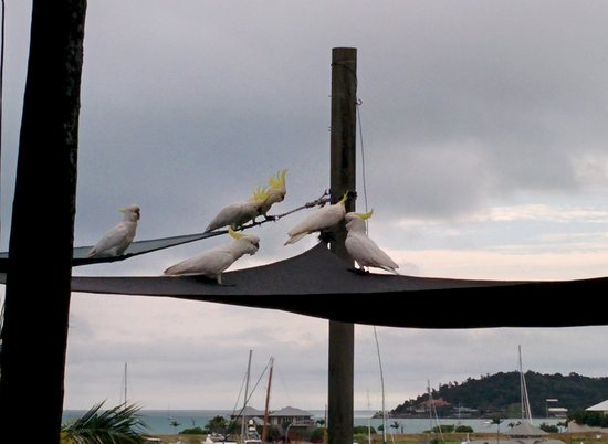 Cockatoos hanging out in the front yard of Backpackers by the Bay